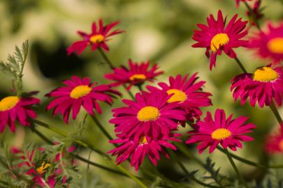 Tanacetum coccineum robinsons rot ©Adobe Stock Fotos/zVg